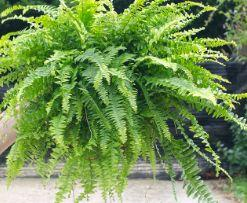 Best Air Purifying Plants Boston Fern Formaldehyde remover