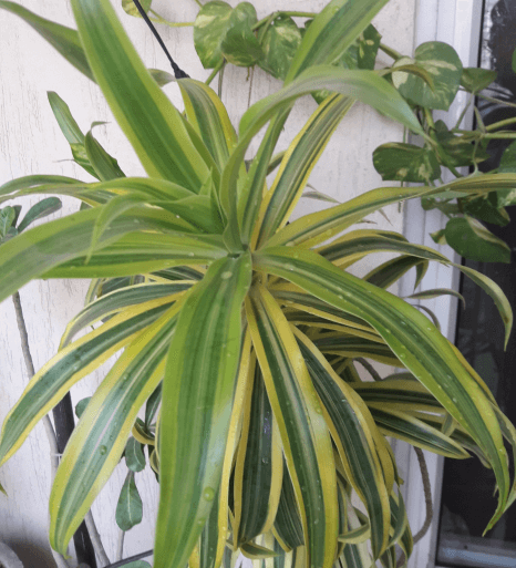 Best Air Purifier Plant Dracaena Deremensis