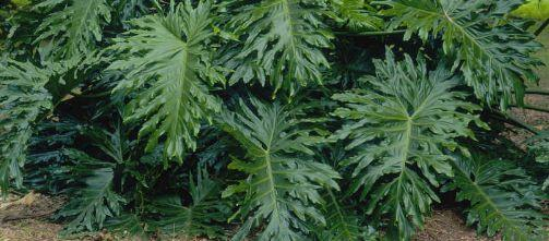 Air Purifying Plants- Philodendron