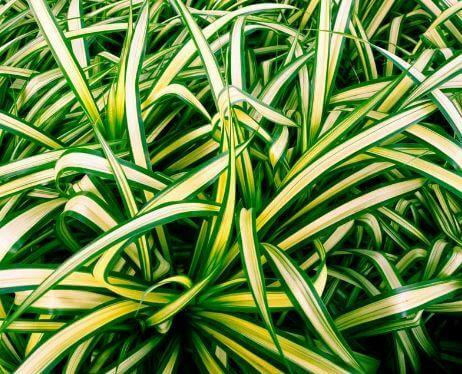 Air Purifying Plants Spider plant