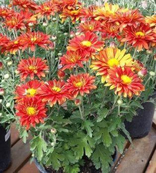 Best Air Purifying plants Garden Mum