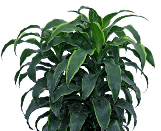 Dracaena Dorado Best Air Cleaning Plants