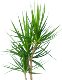 Dracaena marginata Best Air Cleaning Plant