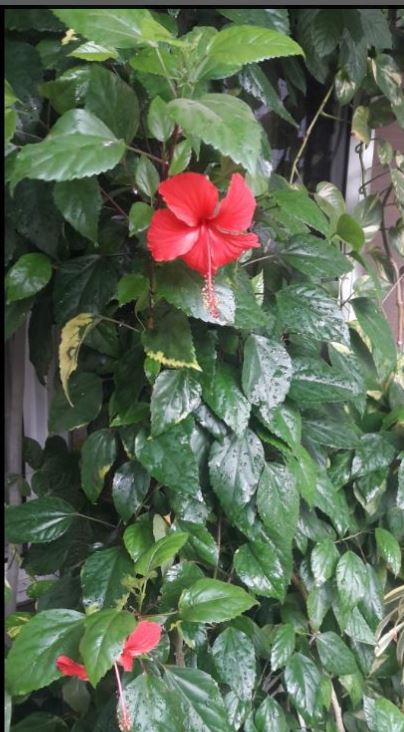 Hibiscus Best Air Purifying plants