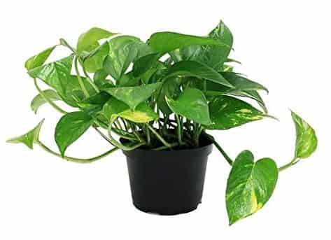 Money plant Best Air Purifying plants
