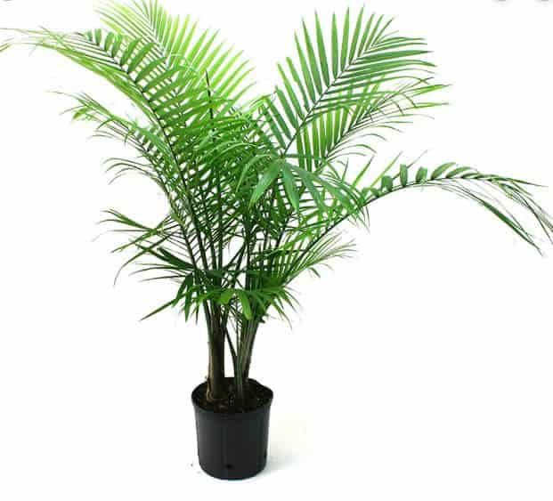 Palm tree Best Air purifying plants