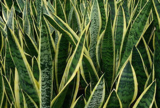 Best Air Cleaning Plants- snake plant Mother's Tongue